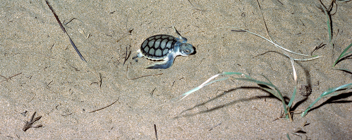 Flatback Turtle-1